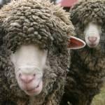 """""""Sheep"""" by Javatam12"""