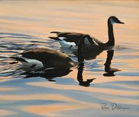 Swimming Canada Geese