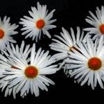 """Daisy Black"" by elricksphoto"