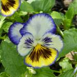 """Pansy"" by naturephotos"