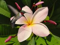 Pink Frangipani and Hummingbird