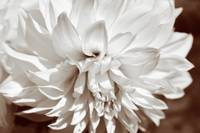 Dahlia flower delight_Sepia