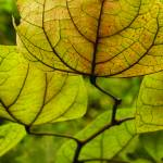 """Golden Lantern Leaves"" by IndianPaintbrush"