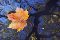 Autumn leaf on water level