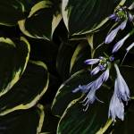 """Purple Hosta"" by BillLinn"