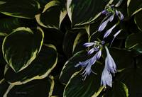 Purple Hosta