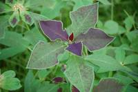 Purple Leaved Euphorbia