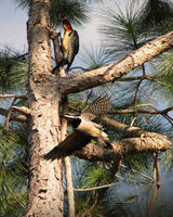Woodpeckers and Pine