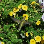 """Hummingbird"" by tracyparsinen"