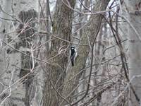 Wood Pecker smallest