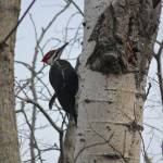 """Red Crest Woodpecker"" by adverrier"