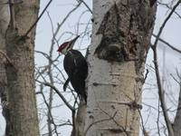 Red Crest Woodpecker