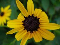 Yellow Black-Eyed Susan
