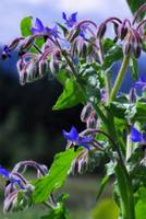 Watercolor Borage