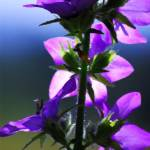 """Campanula Watercolor"" by lightcaptured"