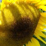 """""""A Real Sunflower"""" by lightcaptured"""