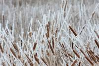 Cattails with frost