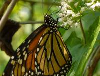Monarch Butterfly drinking nectar
