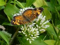 Pearl Crescent butterfly drinking nectar