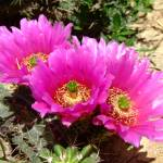 """Pink hedgehog cactus blossoms"" by meganrenehoover"
