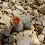 """Tiny flowering cactus"" by meganrenehoover"