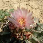 """""""blooming cactus"""" by meganrenehoover"""