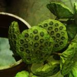 """Lotus Seeds"" by boomoohoo"
