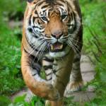 """Tiger on the Prowl"" by mattosbornephotography"
