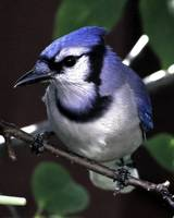 Mr. Blue Jay