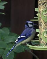 Blue Jay at the Bird Feeder