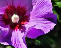 Rose of Sharon - Hibiscus