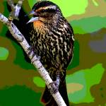 """Female Red-winged Blackbird"" by ROBERTSCOTTPHOTOGRAPHYY"