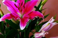 Stargazer Lily and Buds