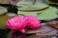 2 Pink Water Lillies