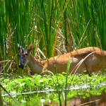 """""""Deer eating along the bank"""" by meganrenehoover"""