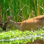 """""""Deer in water"""" by meganrenehoover"""