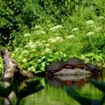 """Three turltles on a log"" by meganrenehoover"