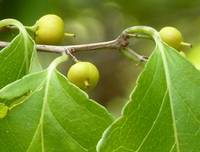 Green Blackgum Berries
