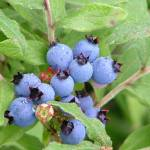 """""""Bunch of Blueberries"""" by JRKlenPhotography"""
