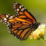 """""""Butterfly"""" by markwuttke"""