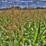 """Corn HDR"" by jamesmohan"