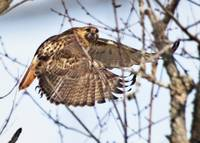 Red-tailed Hawk Takes Flight