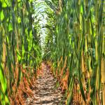 """Corn Rows"" by jamesmohan"