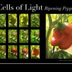 """Cells Of Light: Ripening Pepper"" by IndianPaintbrush"