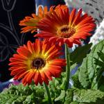 """Gerbera on White and Blue"" by garthglazier"