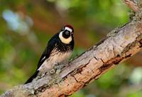 Acorn Woodpecker - Effie Yeaw Nature Center