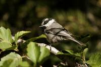 Mountain Chickadee - Lassen Volcanic National Park