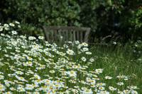 Bench in the daisies