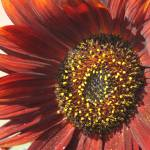 """Rustic Sunflower"" by CarrieAnderson"
