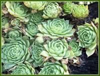 The Green Succulent Plant